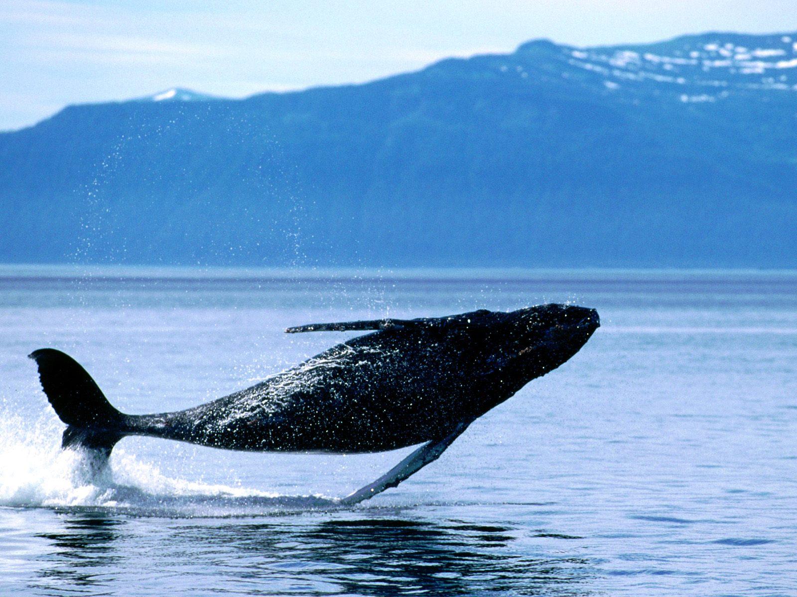Hump Back Whale   Humpback Whales Wallpaper 32310745 1600x1200