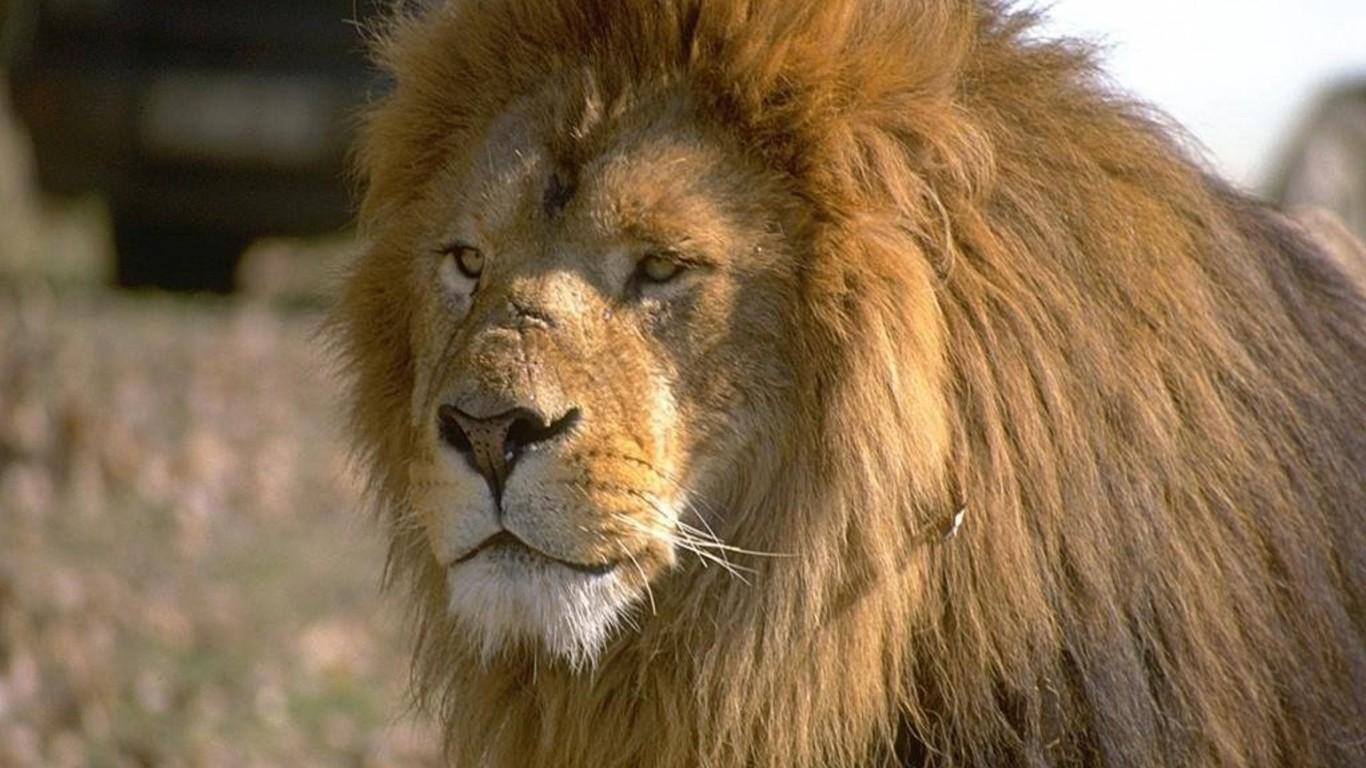 HD LOVELY LION Wallpapers Screensavers   Ventubecom 1366x768