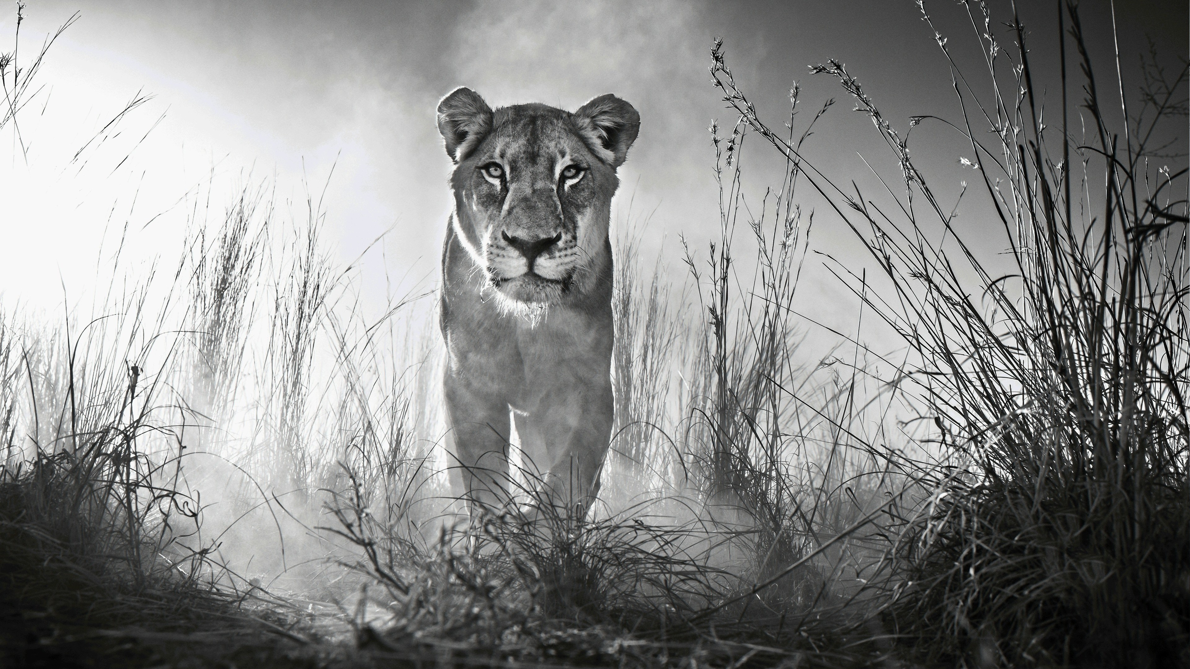 Wallpaper 4k Lion 4k Black And White 4k wallpapers animals 3840x2160