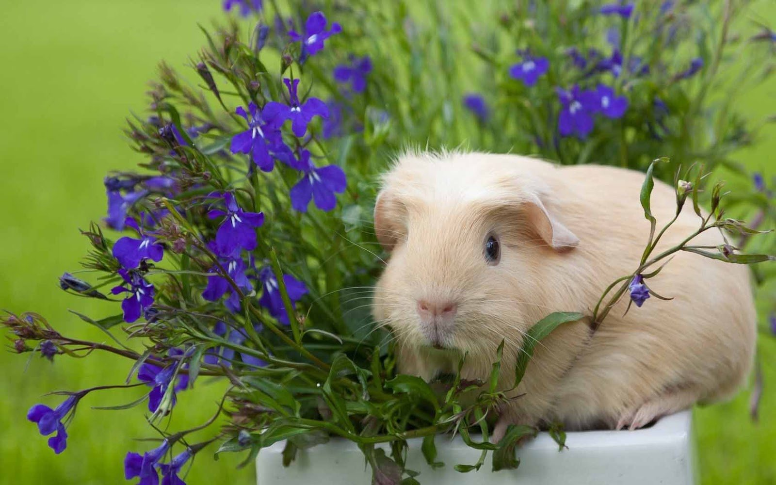 HQ Wallpapers Guinea Pig Wallpapers 1600x1000