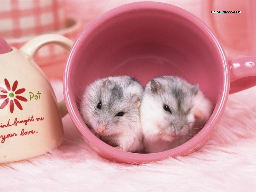 Cute Hamster Cup Desktop Background Cute Hamster Cup Photo Wallpaper 1024x768
