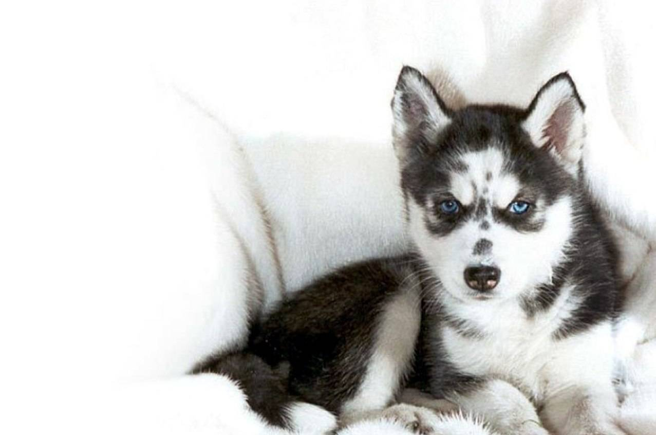 Huskies Wallpaper Husky wallpaper puppy 1277x846