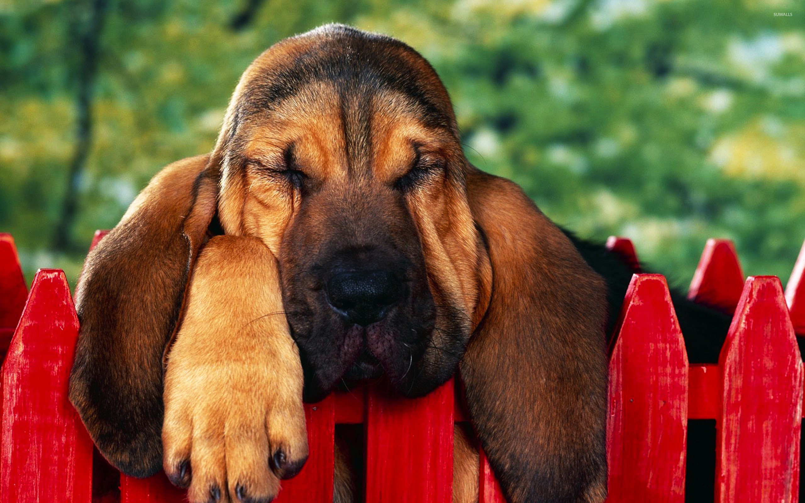 Bloodhound puppy wallpaper   Animal wallpapers   21144 2560x1600