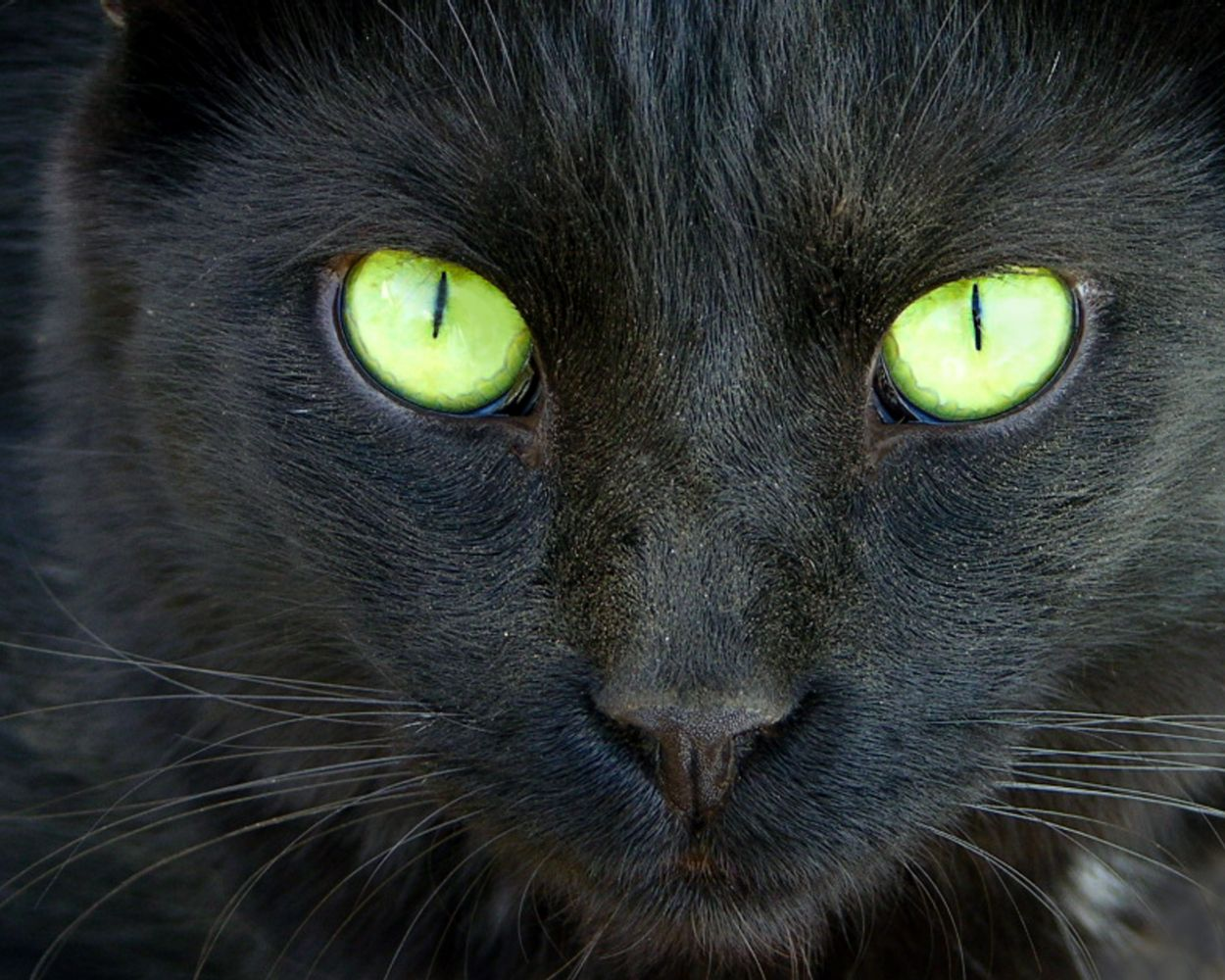 Black Cats With Different Colored Eyes Images 1250x1000