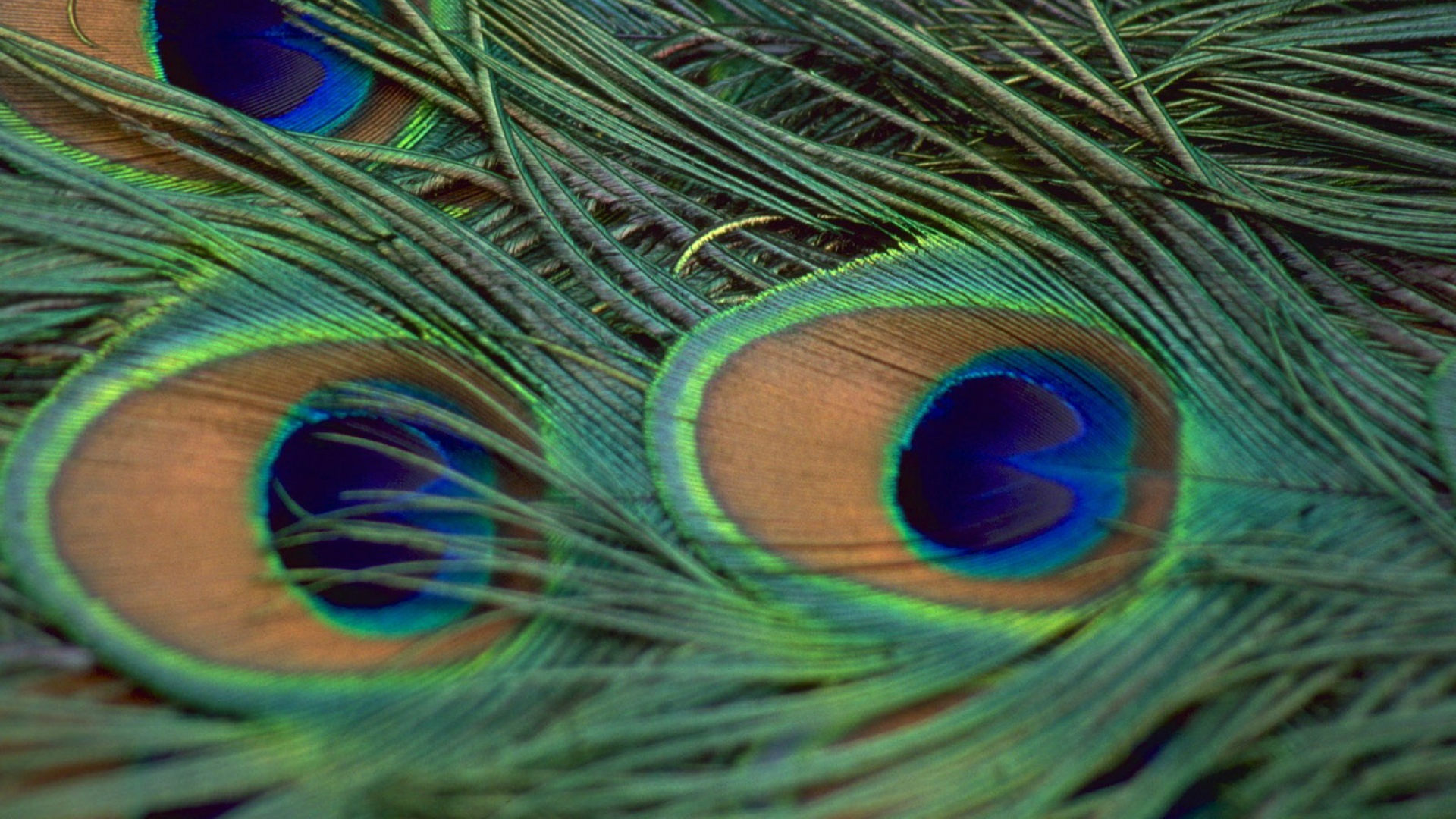 Peacock Feather Wallpapers Peacock Feather HD Pictures 1920x1080
