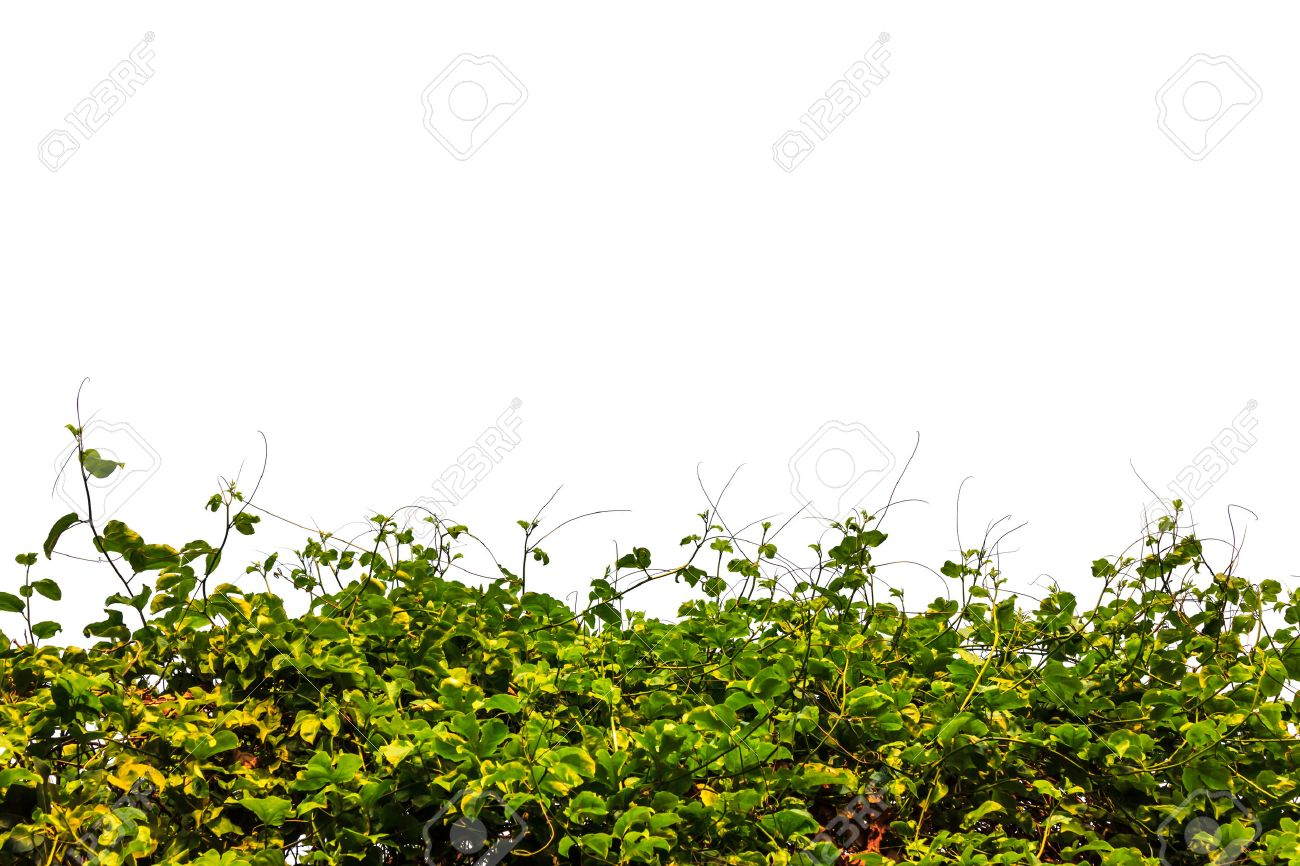 A Hedge Of Tropical Vegetation Plants And White Background Stock 1300x866