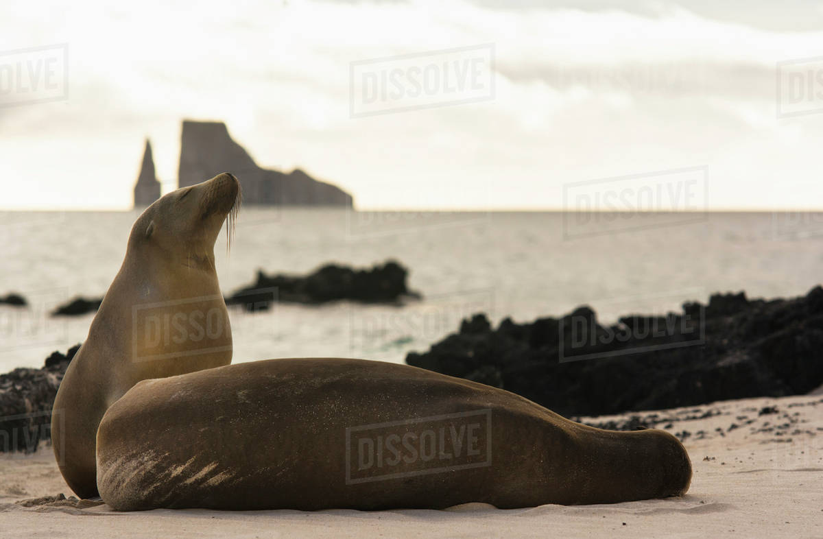 Galapagos sea lions on beach with Kicker Rock in background San 1200x786