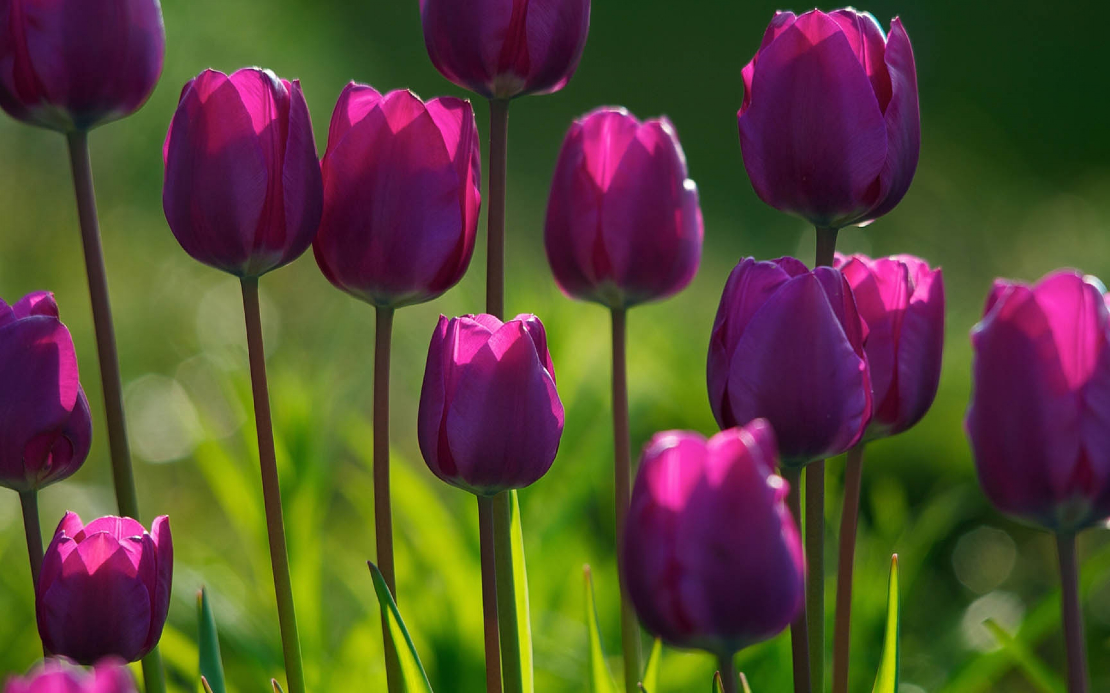 Purple Tulips Spring Flowers Wallpapers   My Carolina 3840x2400