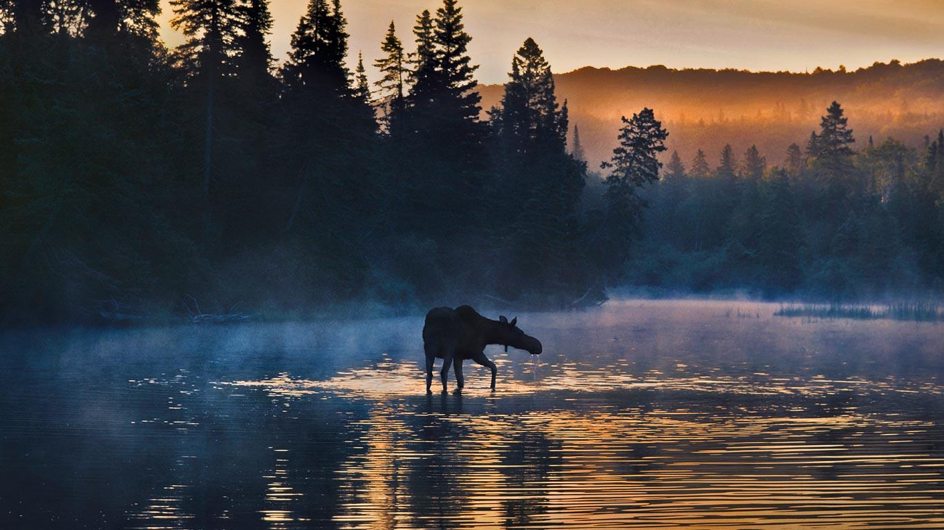 Western moose in Isle Royale National Park Michigan   Bing 1366x768