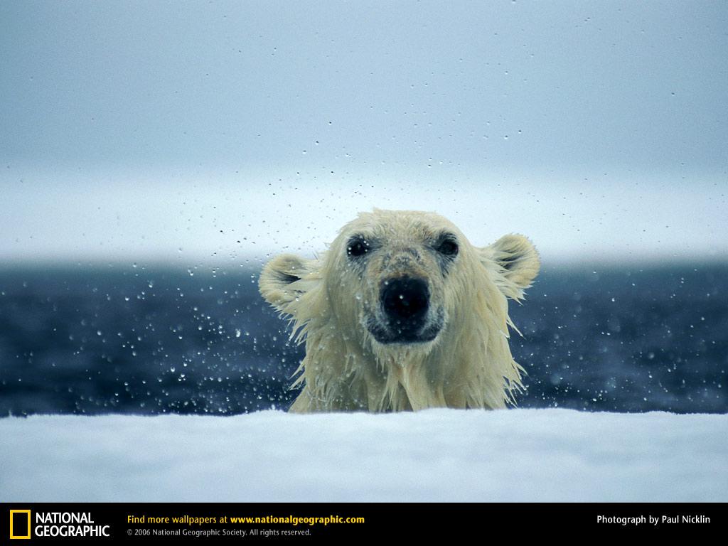 Bear Cub Wallpaper Download Wallpaper DaWallpaperz 1024x768