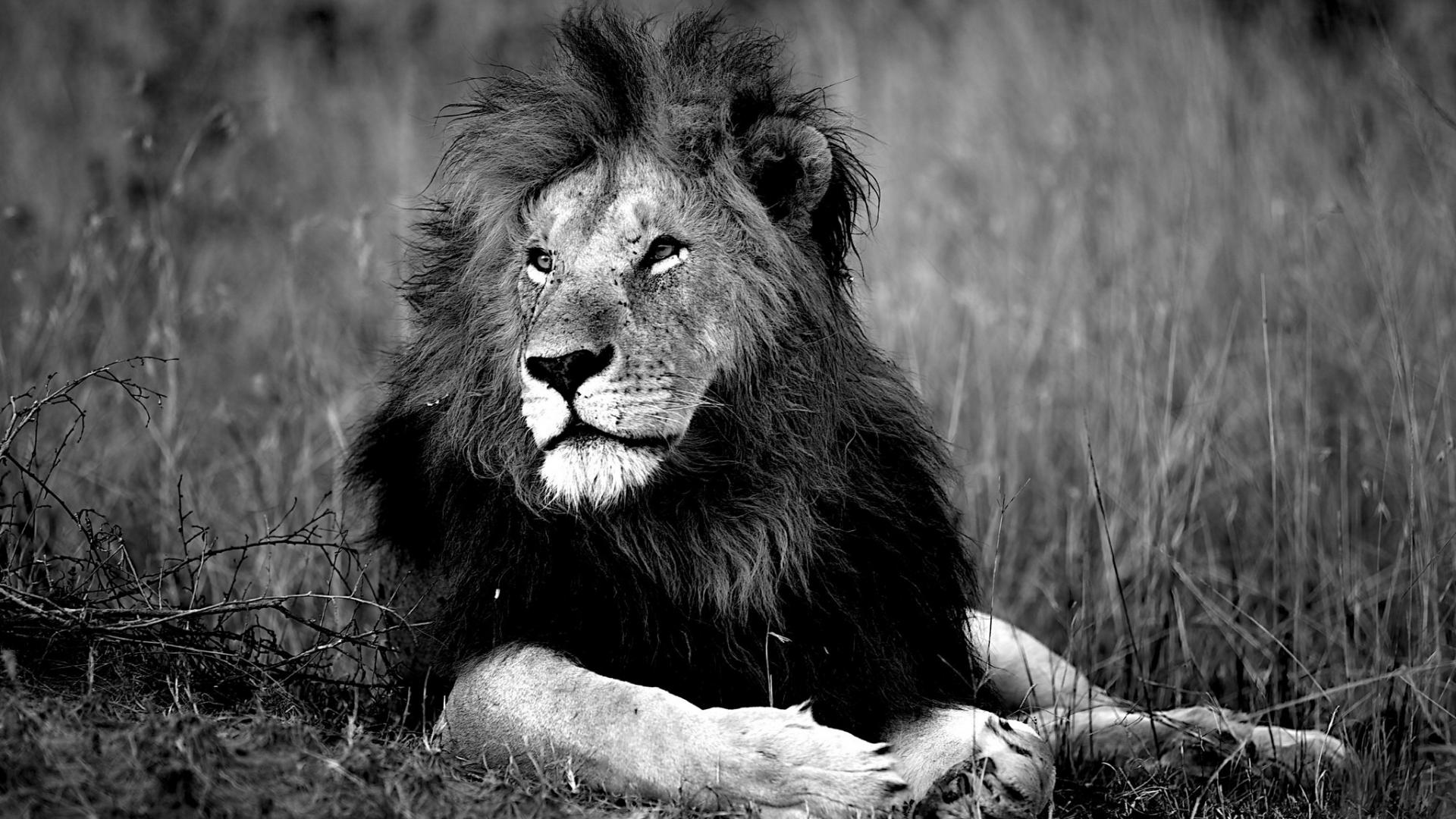 Free Download Black And White Lions Wild Wallpaper 28224