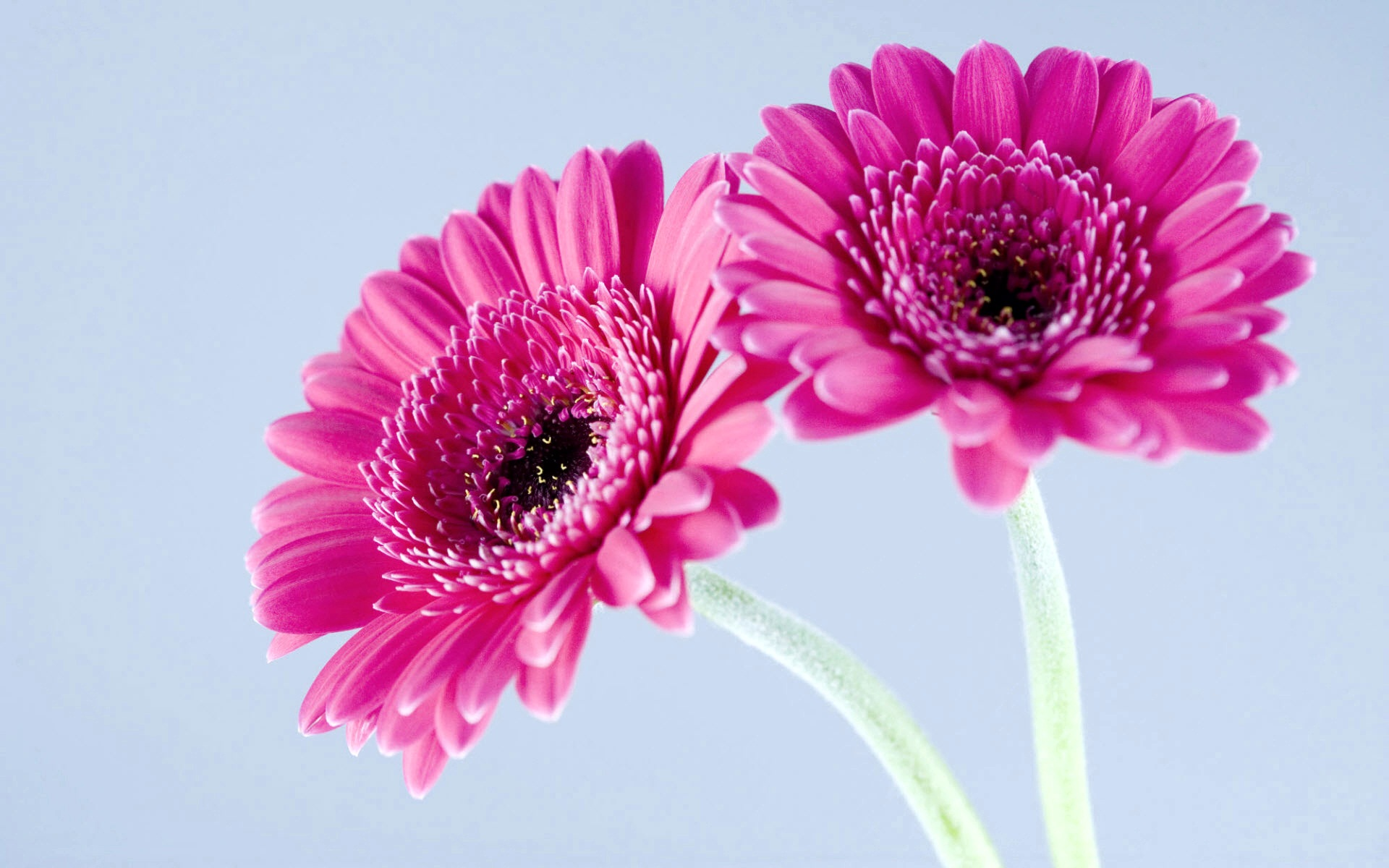 Purple Gerbera Daisies Wallpapers HD Wallpapers 1920x1200