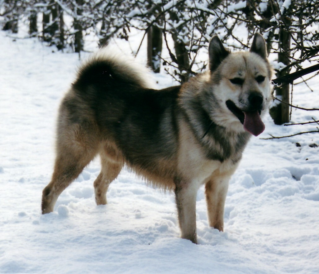 Greenland dog in the snow photo and wallpaper Beautiful Greenland dog 1028x884