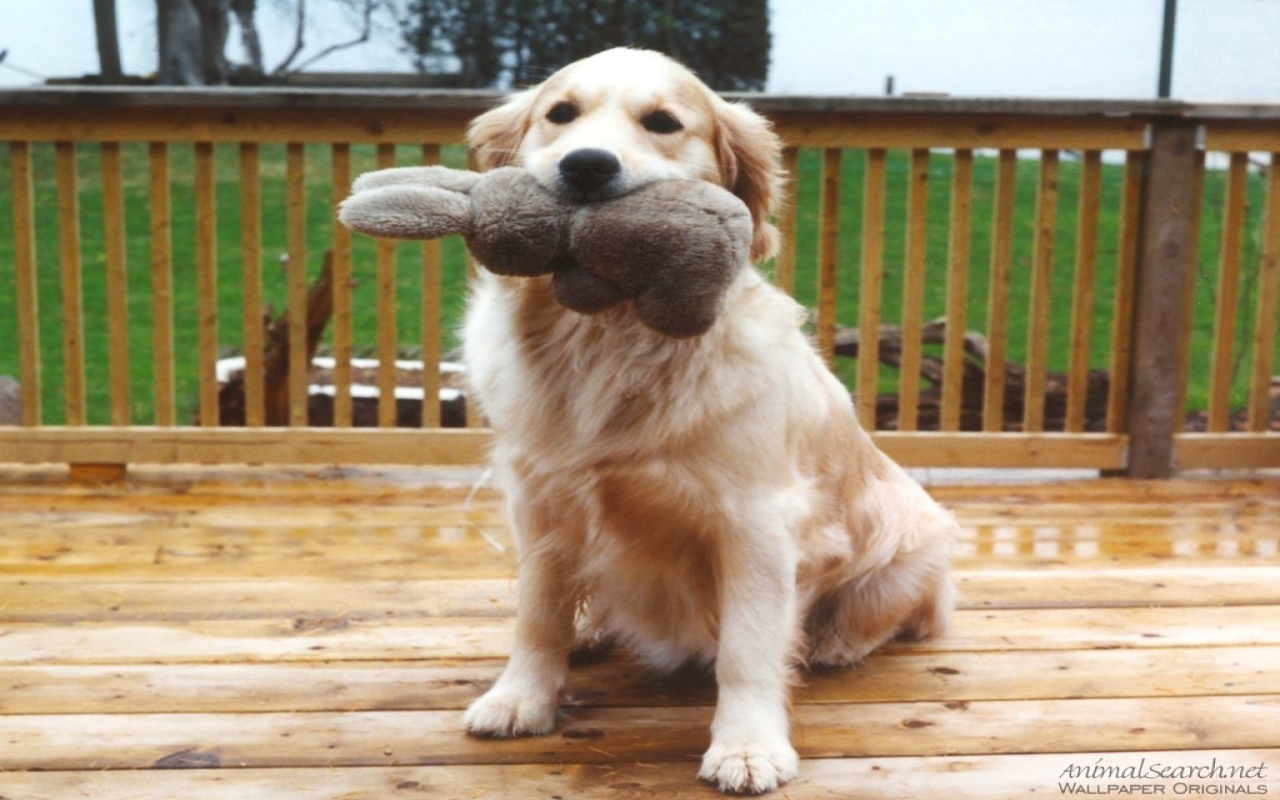 Yellow Lab Shows Off Toy   Dogs Wallpaper 13985390 1280x800