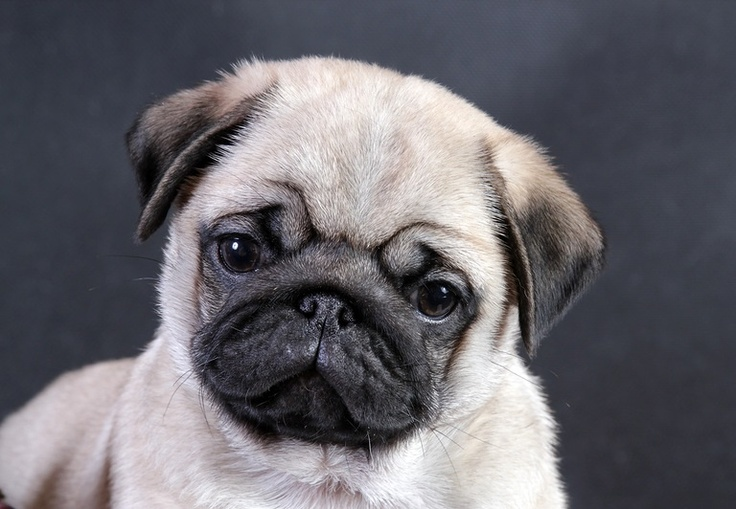 Cute Black Pug Puppy Wallpaper Hd Pictures To Pin 736x509