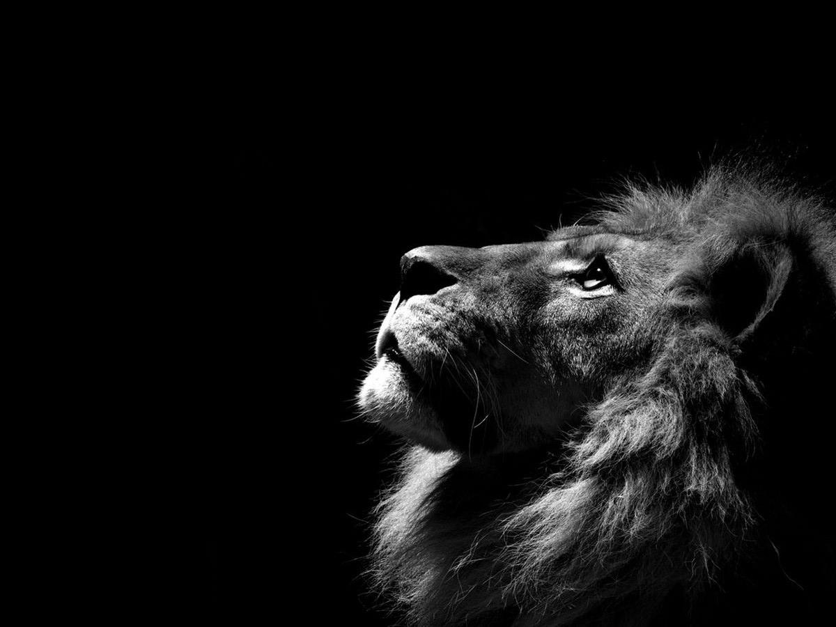 Black And White Lion Roar Wallpaper