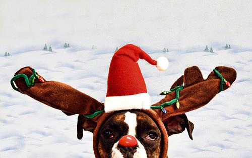 Merry Christmas Pitbull Puppies 310936272 55b49b5bacjpg 500x313