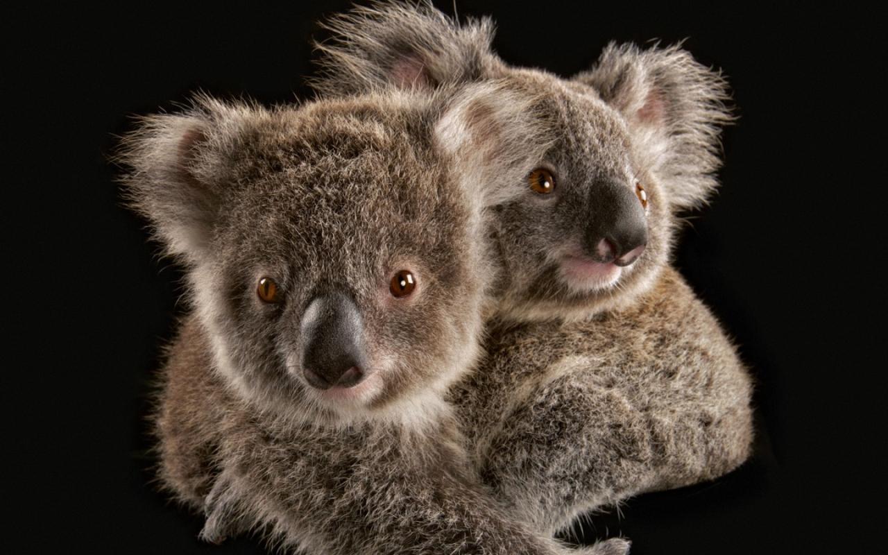 Koala - Australia Wallpaper (32220209) - Fanpop