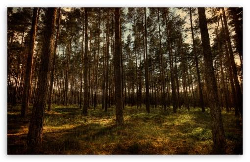 Pine Forest HDR HD wallpaper for Standard 43 54 Fullscreen UXGA XGA 510x330