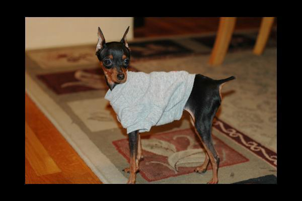 Miniature  Pinscher   wallpaper 600x400