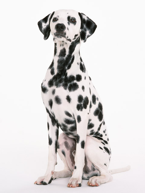 Stock Photo A dalmatian isolated on a white background 10630 480x640