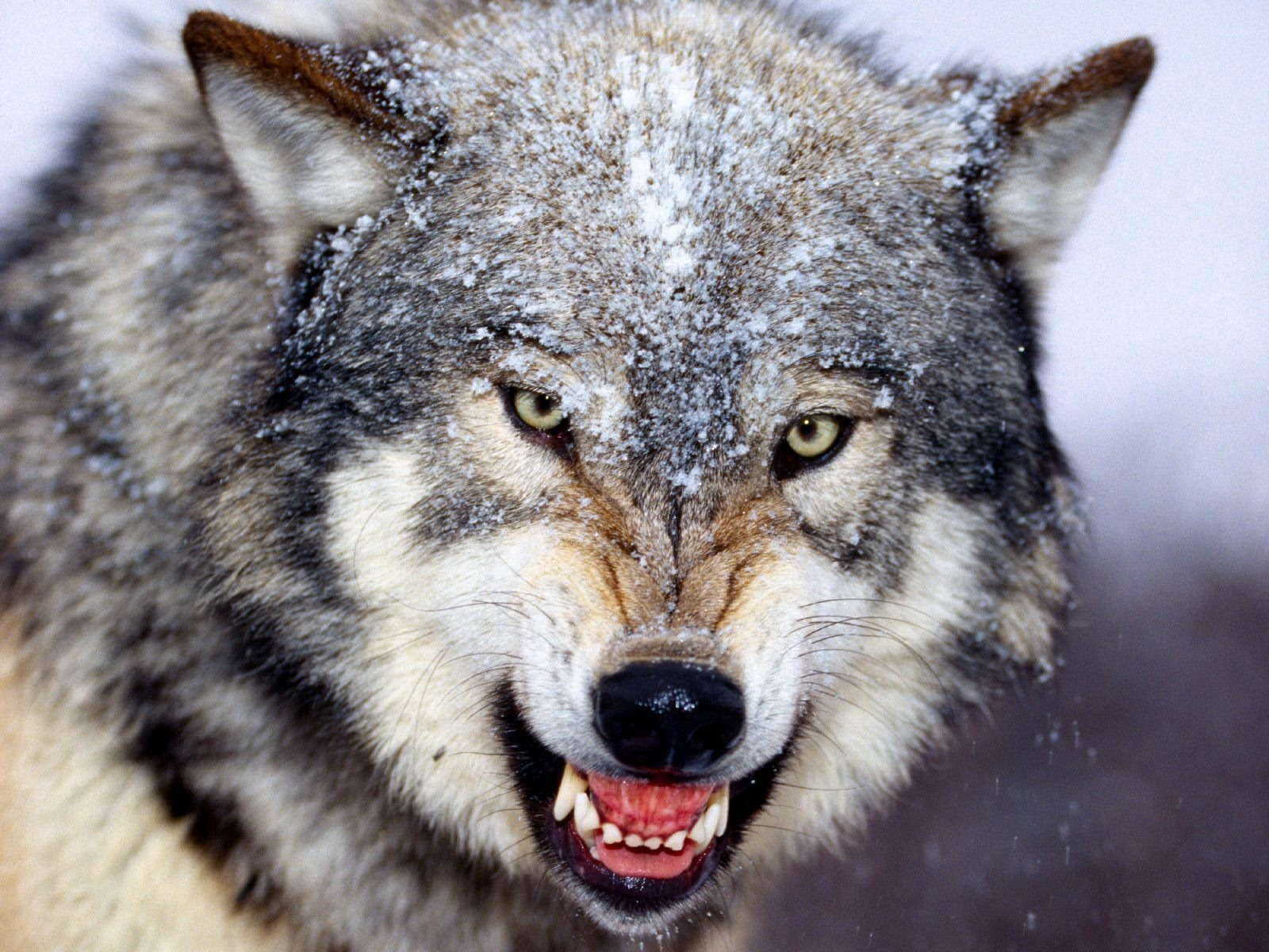 HD Grey Wolf Wallpapers Download Wallpapers in HD for your 1600x1200