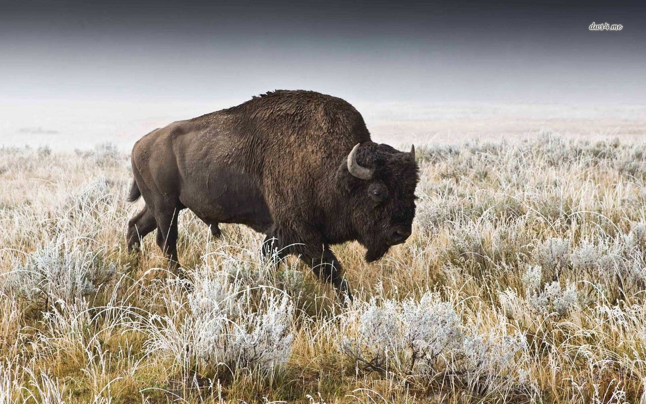 Buffalo wallpaper   Animal wallpapers   9493 1280x800