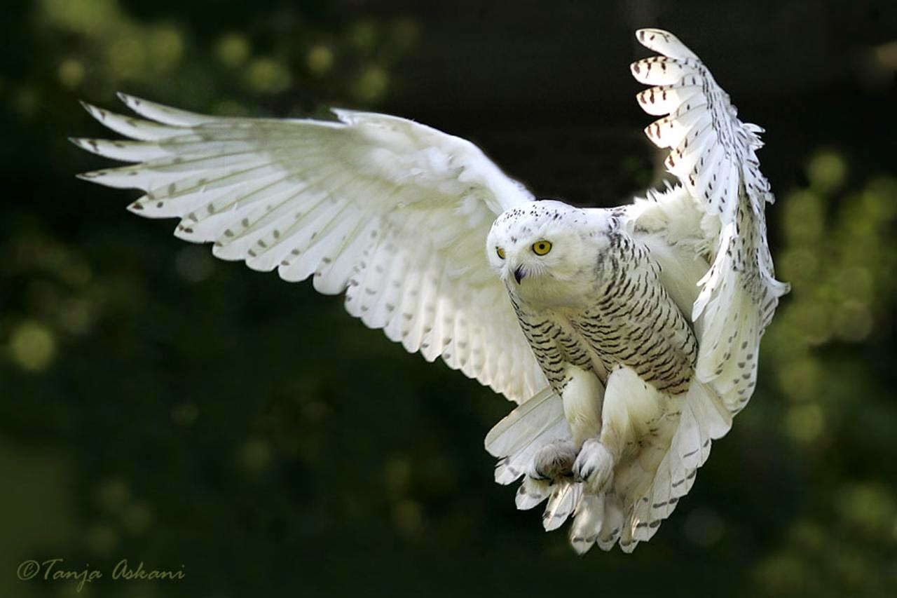 These 10 Incredible Photos of Snowy Owls in Flight Will Stun You 1280x853