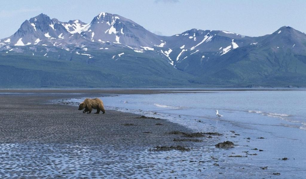 Alaska Usa Mountain Bear Hd Wallpaper Wallpaper List 1024x600