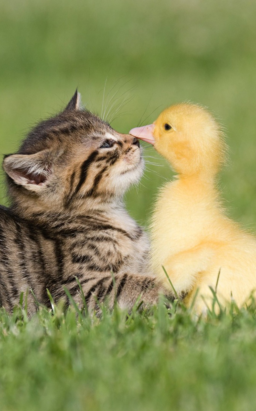 Baby Kitten And Duck Android Wallpaper download 1000x1600