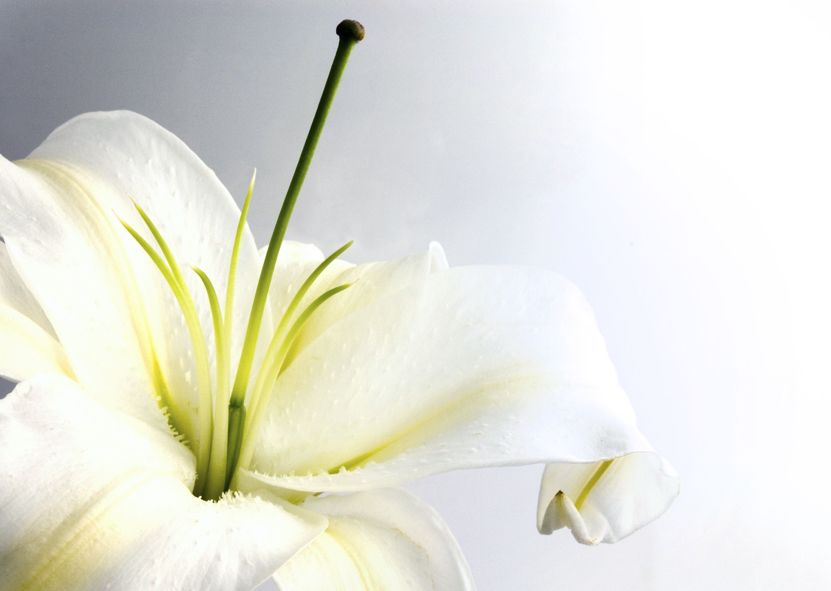 daisy background white lily and heart shape white lily closeup 2660x1892