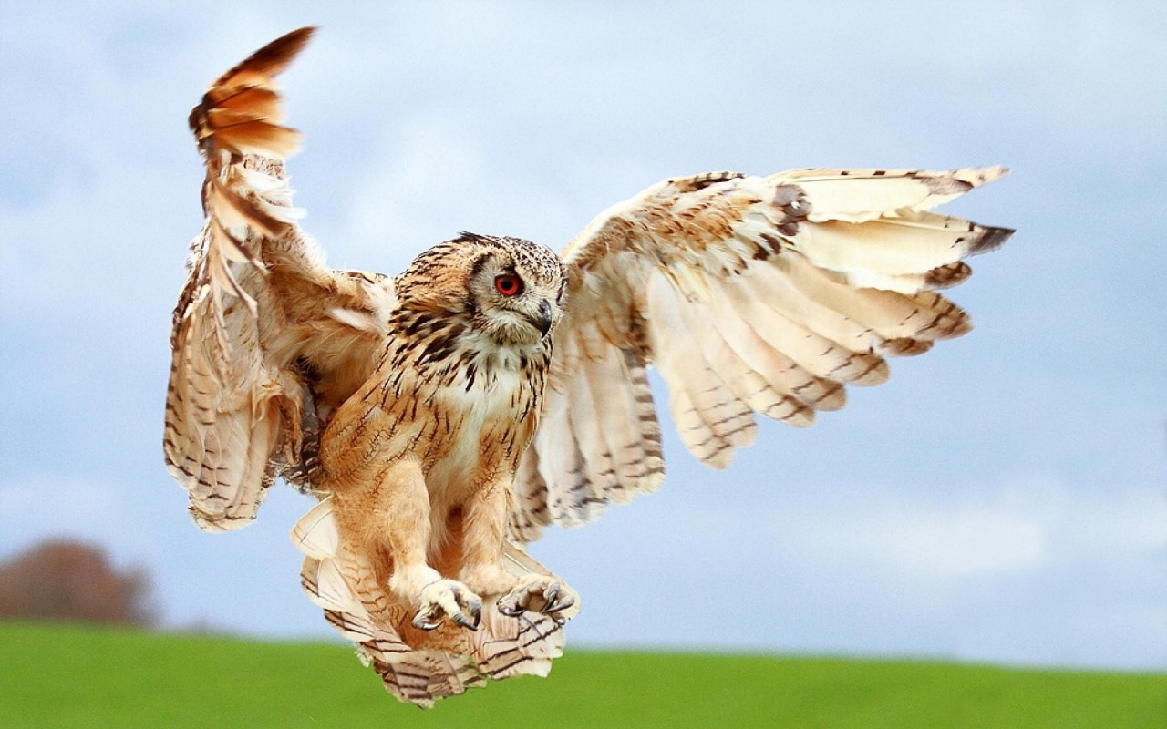 owl uploader anonymous licence category creatures tags bird flying owl 1280x800