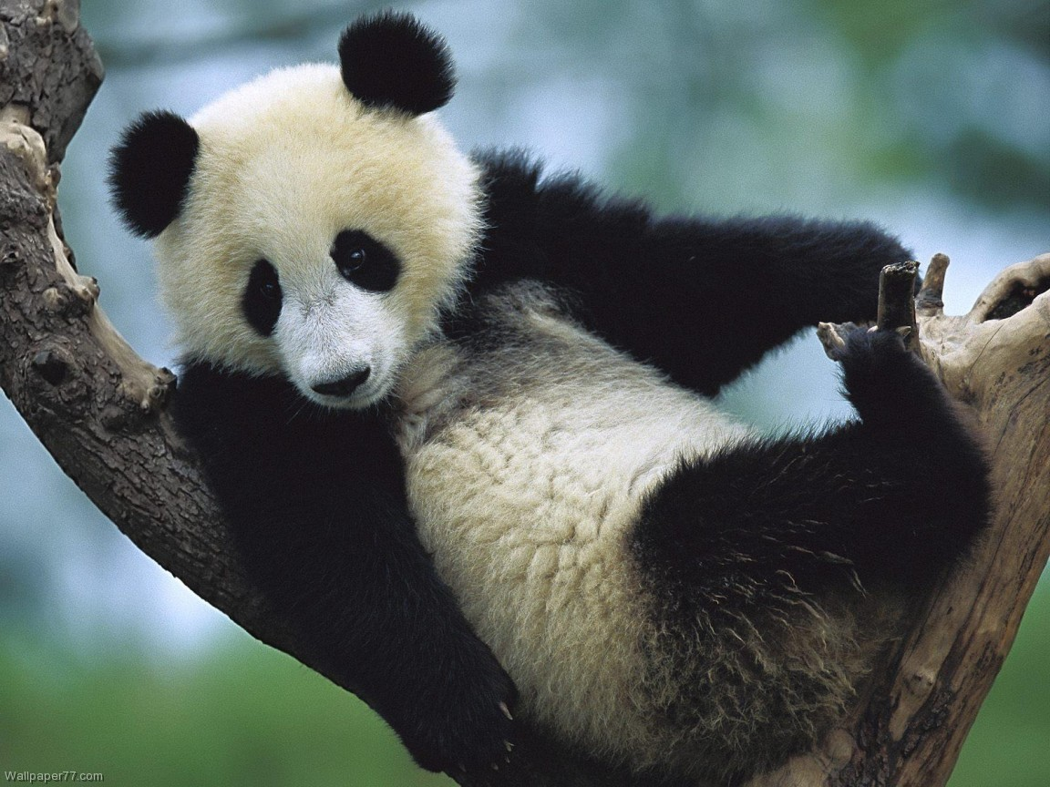 Panda on Tree 1152x864 pixels Wallpapers tagged Bear 1152x864