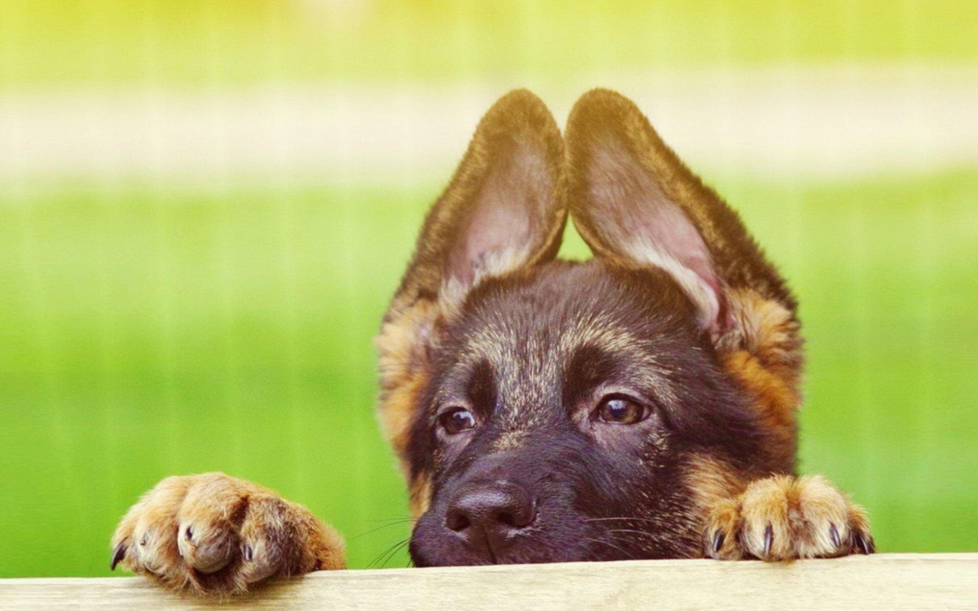 Cute German Shepherd Puppies   Wallpaper High Definition High 1920x1200