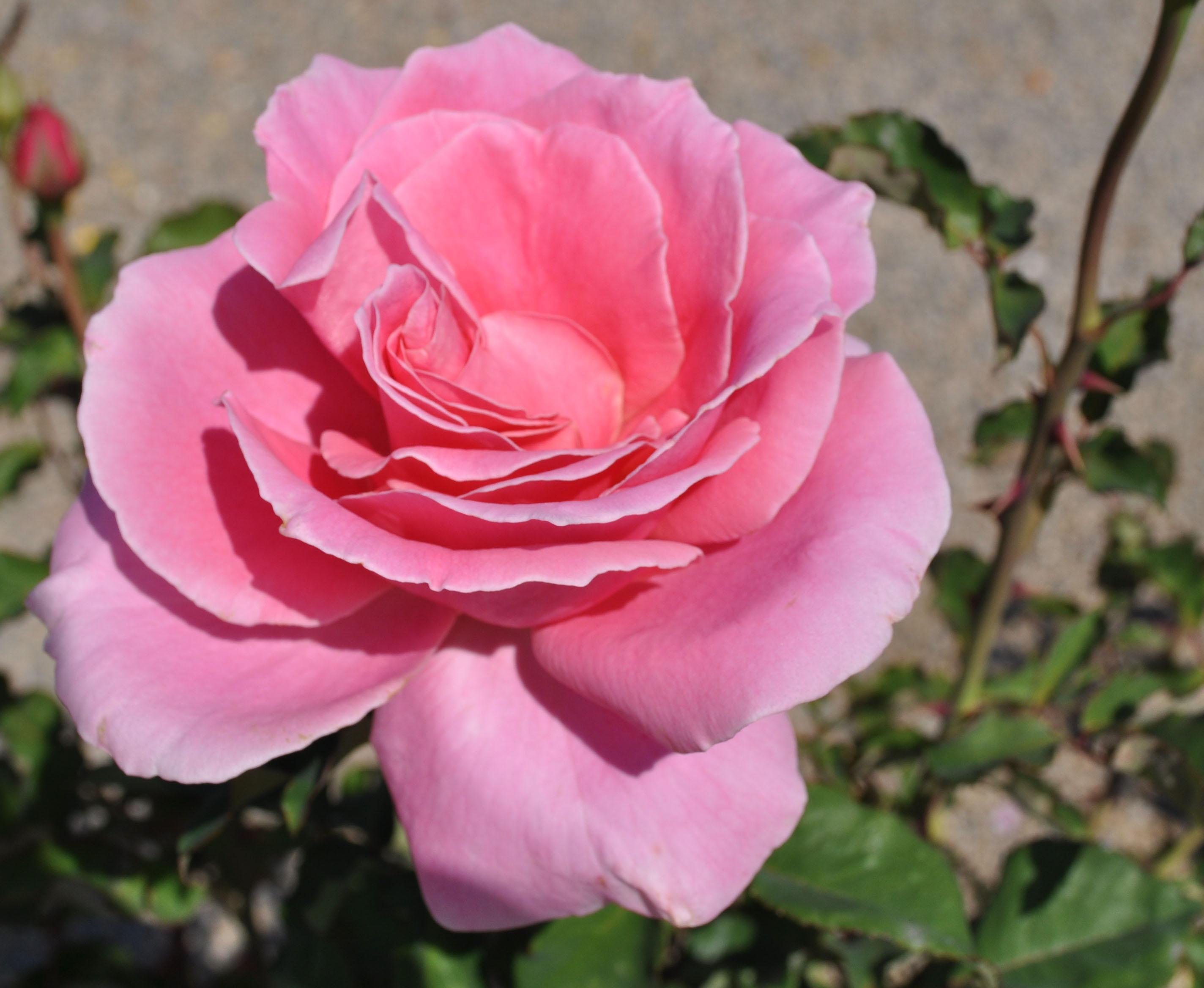 2848x2336px roses screensaver wallpaper wallpapersafari