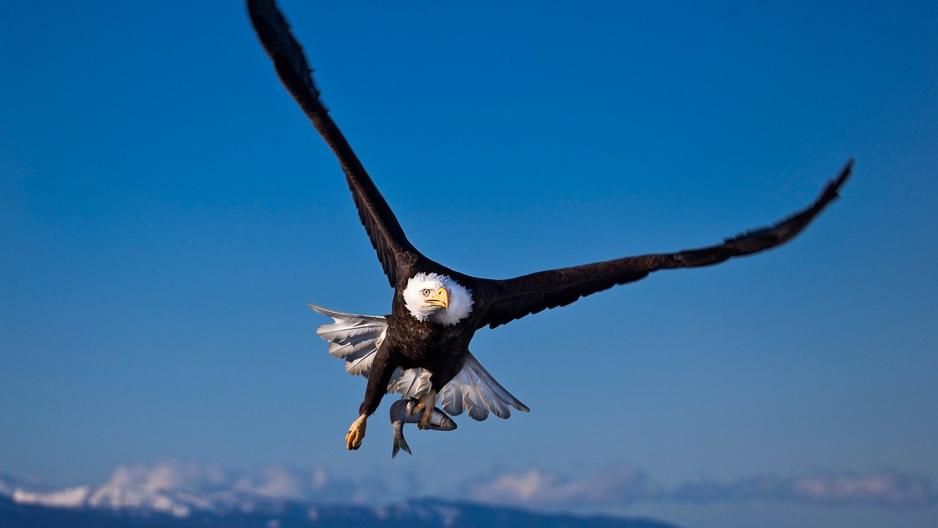 Eagle Flying Wallpaper 1920x1080
