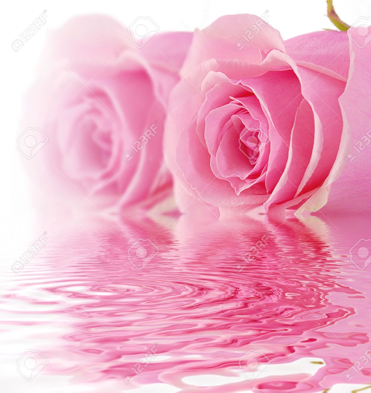 pink rose white background wallpapersafari