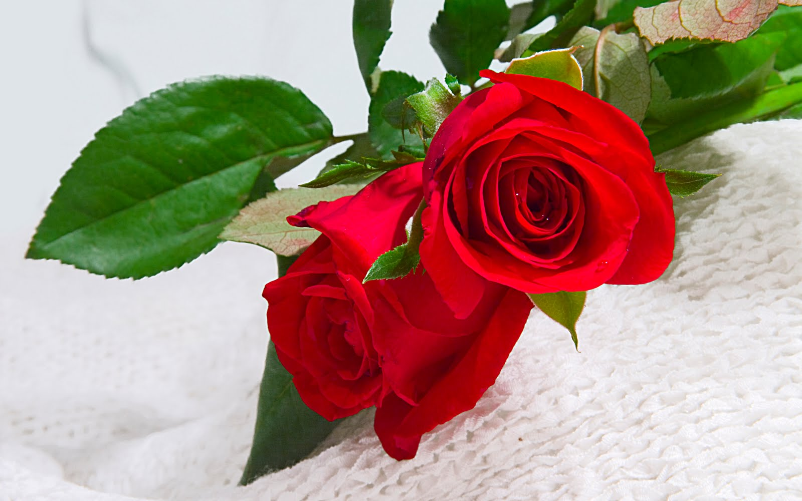 red rose flowers wallpapers flower red rose pictures desktop red 1600x1000