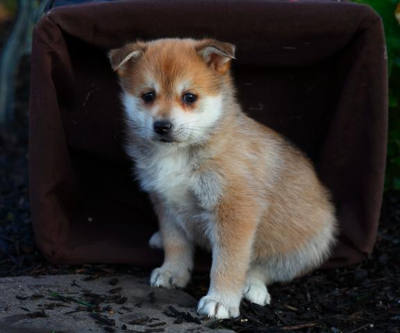 puppies for sale in pa josh760 1jpg 576x480