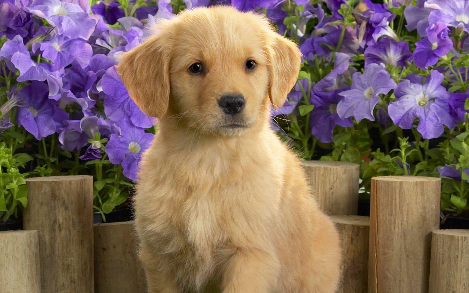 Cute Golden Retriever Puppies Wallpapercercueilscarton 1600x1000