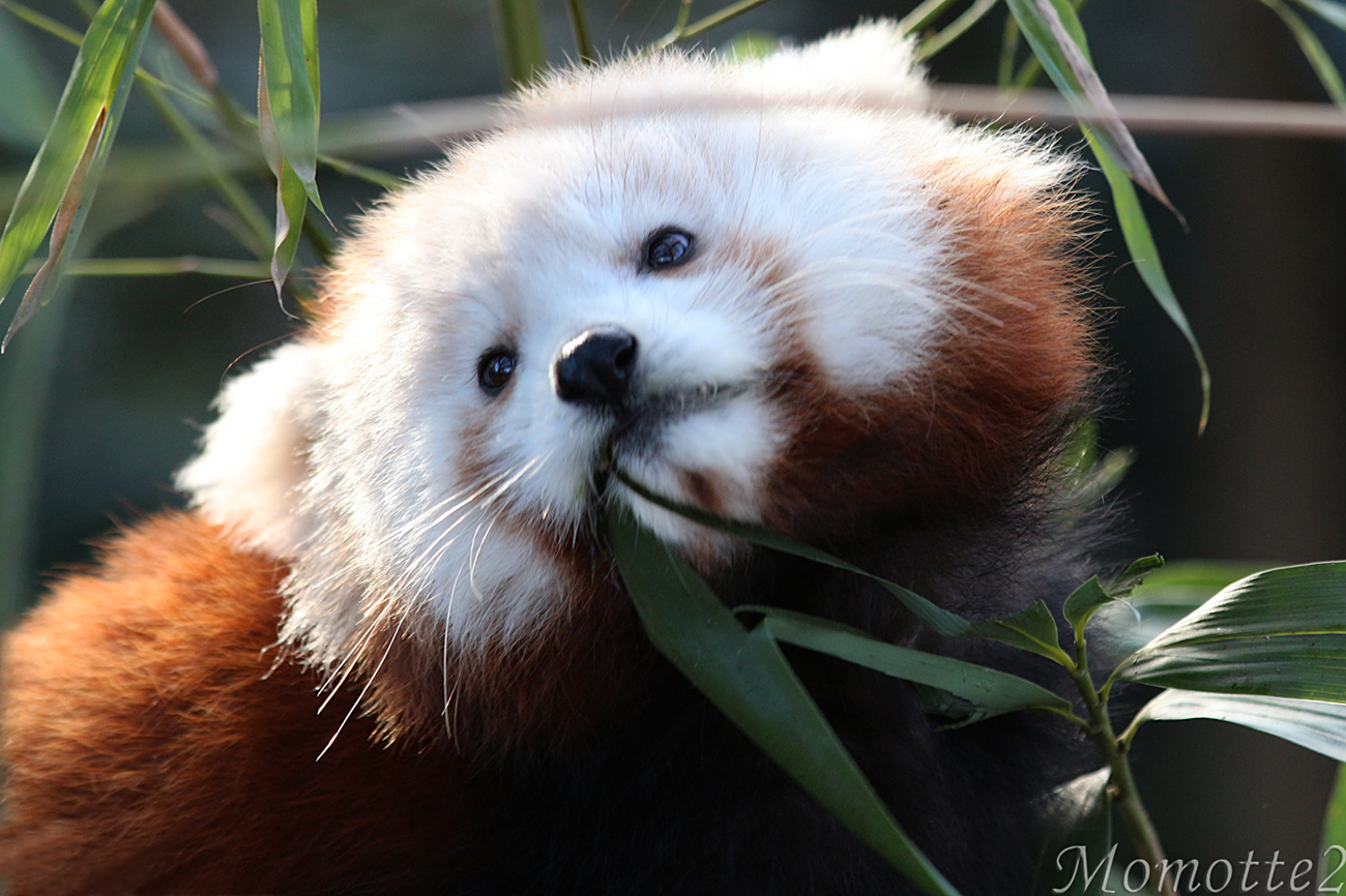 Cute Baby Red Panda Important Wallpapers 1300x866