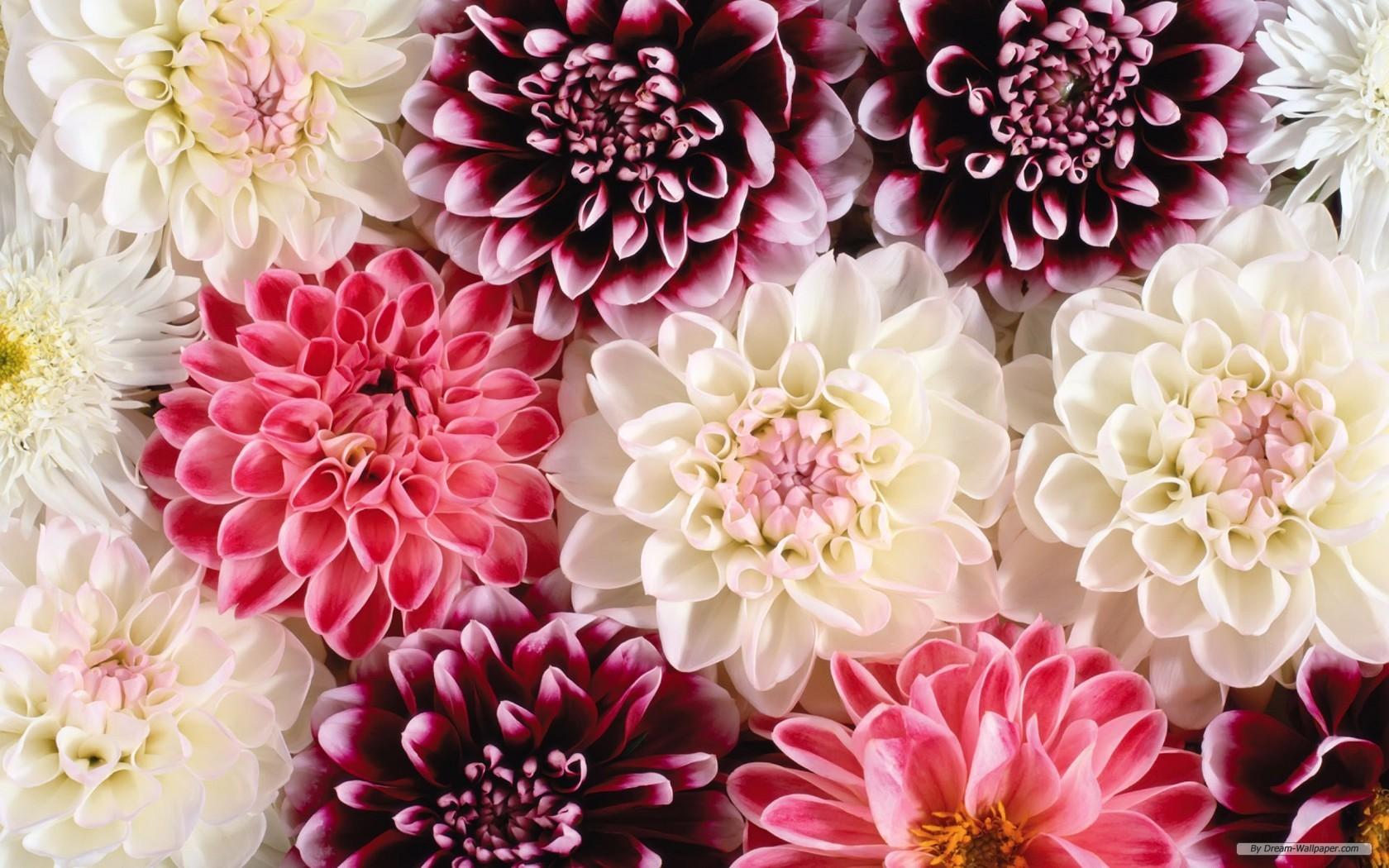 Free pretty flower wallpaper wallpapersafari wallpaper flower wallpaper beautiful flower wallpaper 1680x1050 mightylinksfo
