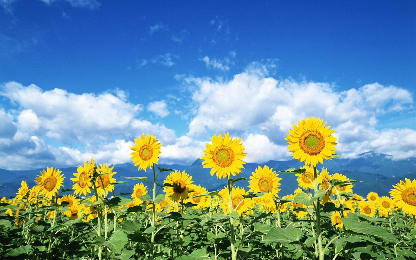 Sunflowers will clean up radiation leaked from power plant Cali 1440x900