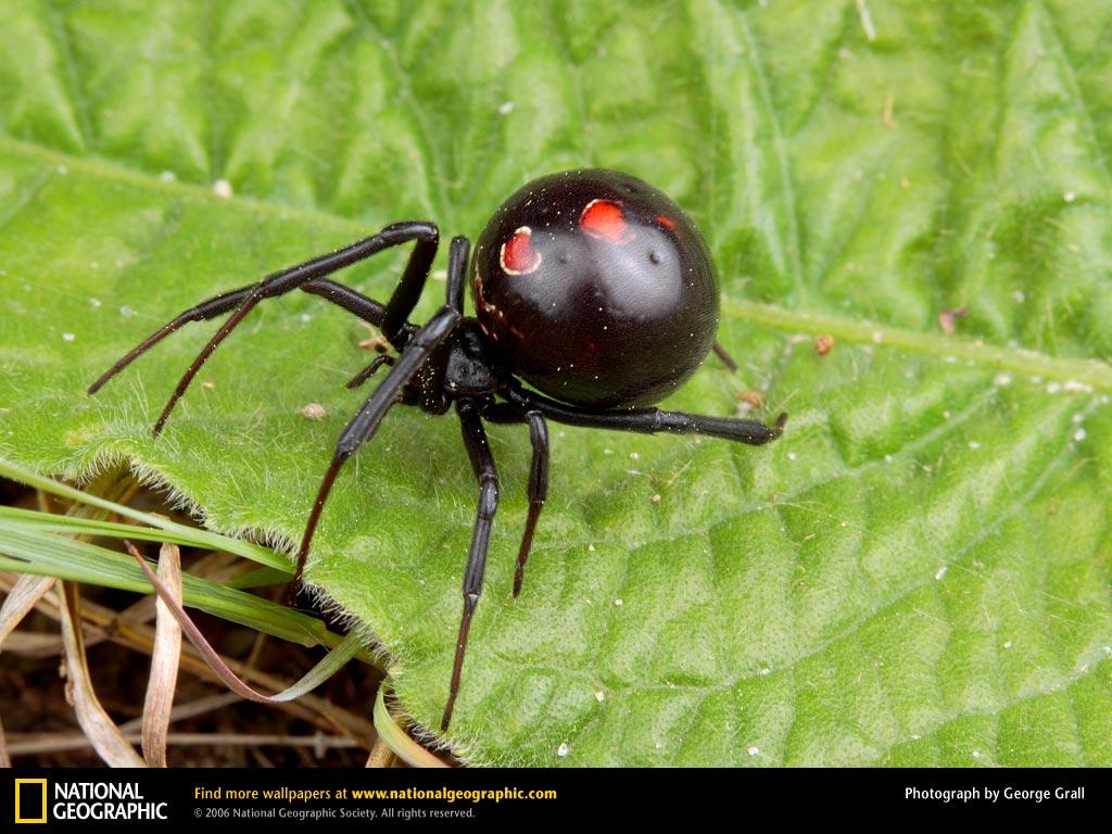 Black Widow Spider Picture Black Widow Spider Desktop Wallpaper 1024x768