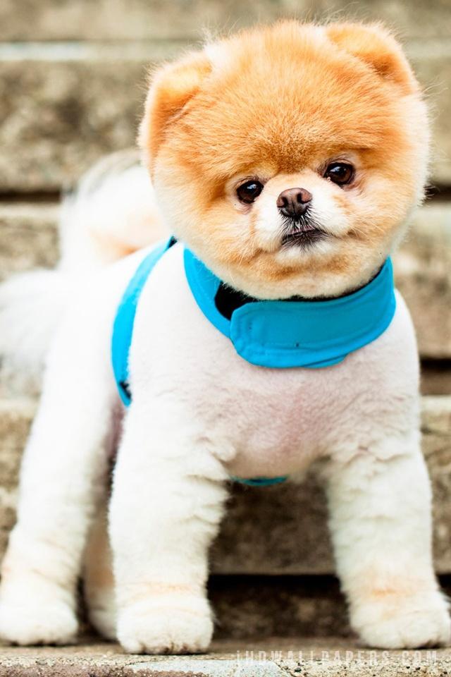 Cute Dog Boo Wallpapers 640x960