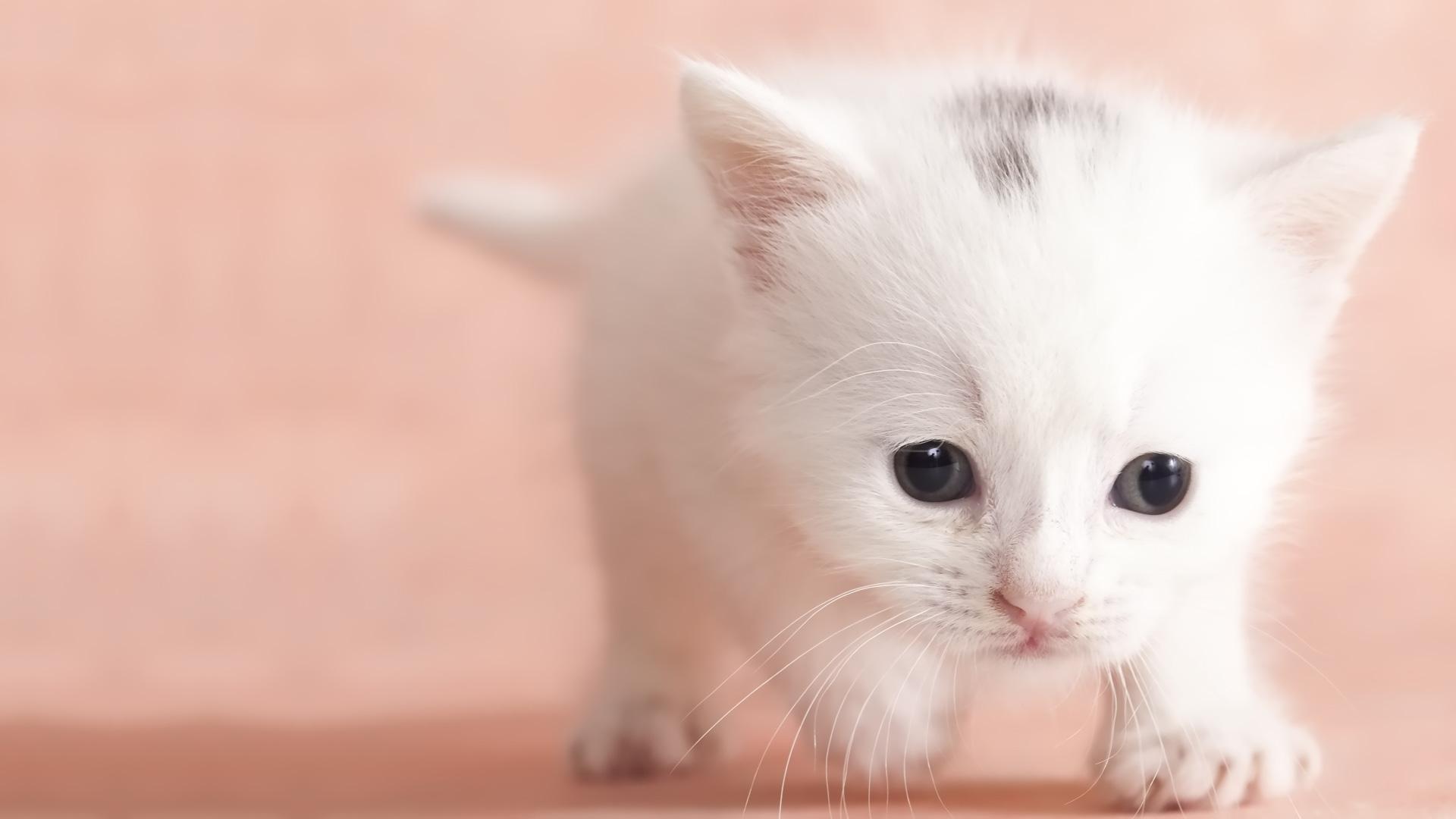snow shoe siamese cats