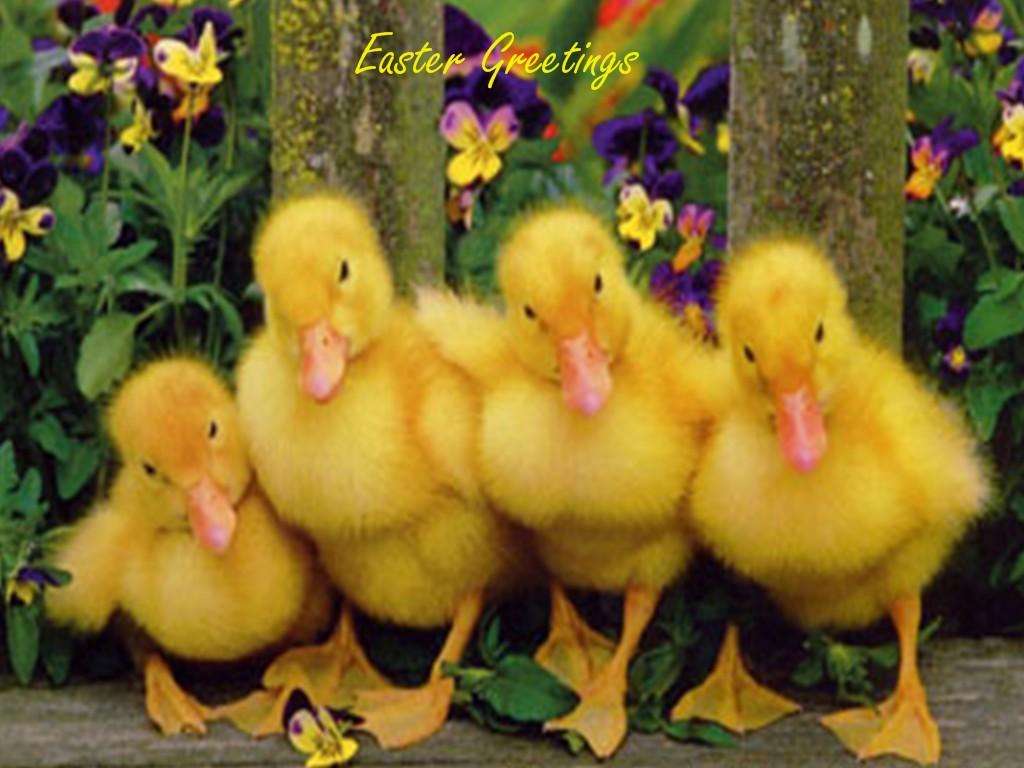 Patos saludos fondos de pantalla Patos saludos fotos gratis 1024x768