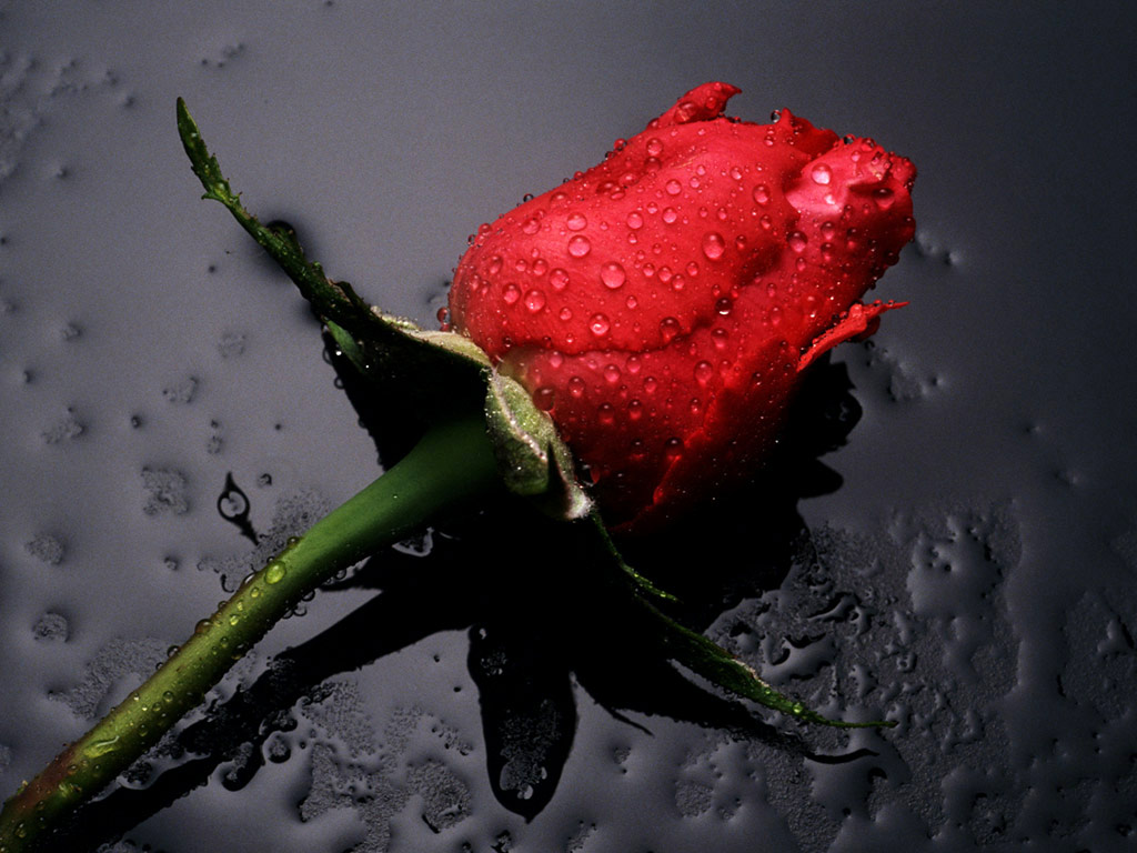 red rose is not selfish because it wants to be a red rose It would 1024x768
