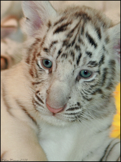 Tiger Cubs Wallpaper Pictures of Tiger 400x533