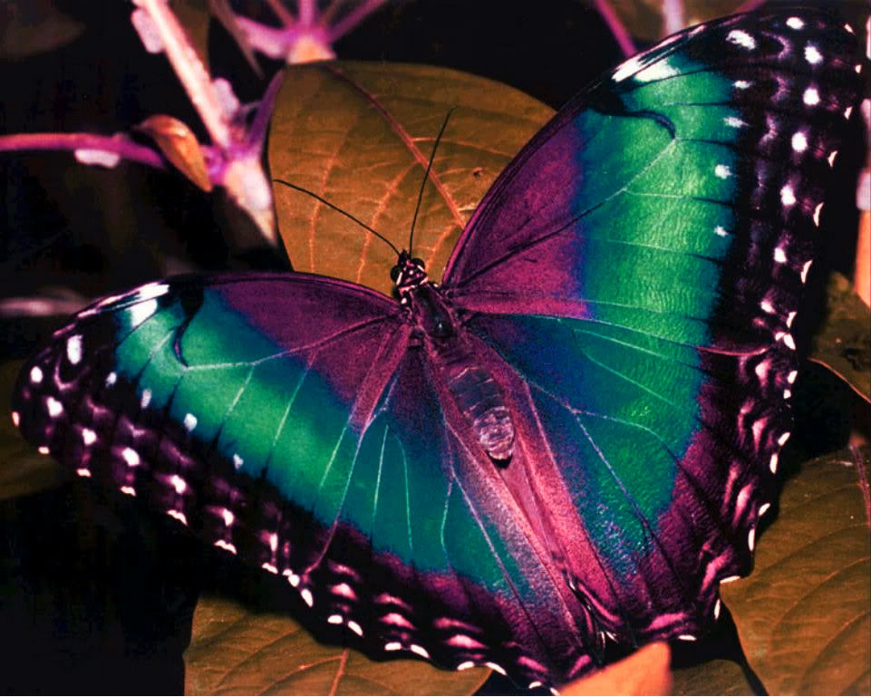 Beautiful Colorful Butterfly Pictures 15 Hd Wallpaper Wallpaper 961x769